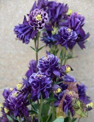 Аквилегия Винки Дабл (Aquilegia Winky double Blue & White)